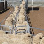 Sheep lead up race