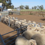 Sheep yard lead up