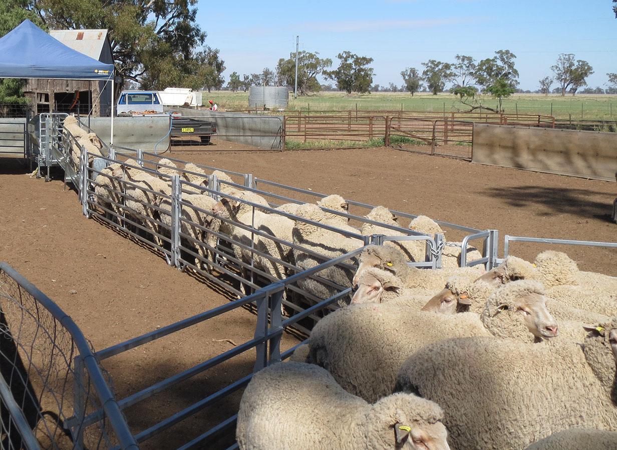 sheep dip system