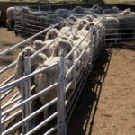 Sheep leadup