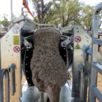 Immobilizer clamped sheep