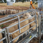 Sheep handler ramps
