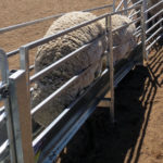 Automatic sheep gates