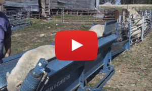conveyor system sheep handler